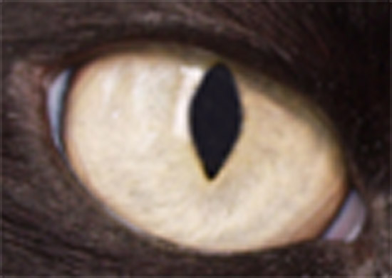 Cat's Eye - Adobe Photoshop Upsampling